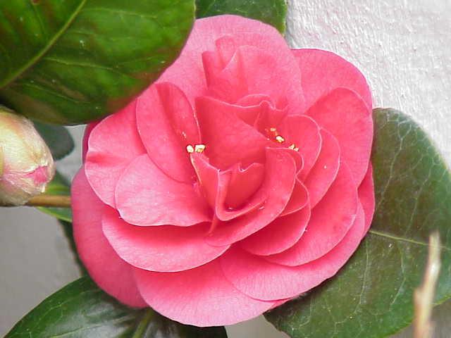 Camellia_japonica0